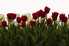 Tulipani rossi e bianchi Immagine Stock Libera da Diritti