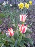 Tulipani rossi e bianchi in anticipo immagini stock