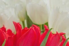 tulipani rossi e bianchi con le foglie verdi Immagine Stock Libera da Diritti
