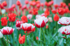 Tulipani rossi e bianchi nello schiarimento Immagine Stock