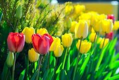 Tulipani rossi e gialli Fotografia Stock