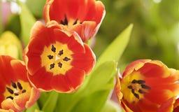 Tulipani rossi e gialli. Fotografie Stock Libere da Diritti