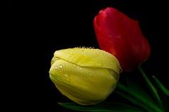 Tulipani rossi e gialli Immagini Stock