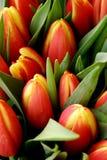 Tulipani rossi e gialli Fotografie Stock Libere da Diritti