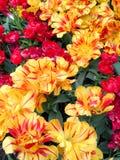 Tulipani rossi e gialli Immagine Stock