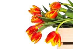 Tulipani rossi e gialli in casella di legno fotografia stock libera da diritti