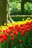 Tulipani rossi e gialli classici Immagine Stock Libera da Diritti