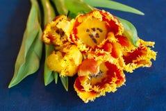 Tulipani rossi e gialli contro fondo blu Immagini Stock Libere da Diritti
