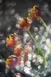 Tulipani rossi e gialli multy astratto colorato in una riflessione di immagine stock libera da diritti