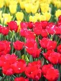 Tulipani rossi e gialli nel giardino Immagine Stock Libera da Diritti
