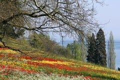 Tulipani rossi e gialli nell'erba fotografia stock libera da diritti
