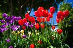 Tulipani rossi e porpora brillanti Fotografia Stock