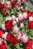 Tulipani rossi e rosa nella luce del giorno immagini stock libere da diritti