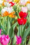 Tulipani rossi ed altri tulipani di colore Fotografia Stock