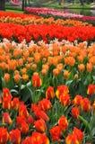 Tulipani rossi ed arancio Immagini Stock