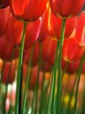 tulipani rossi enormi fotografia stock libera da diritti