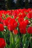 Tulipani rossi in fioritura Fotografie Stock Libere da Diritti