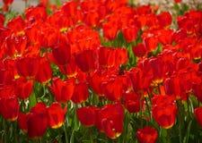Tulipani rossi in fioritura con la farfalla mezzo nascosta Fotografia Stock Libera da Diritti