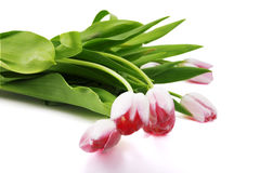 Tulipani rossi freschi Immagini Stock