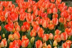 Tulipani rossi gialli Immagine Stock