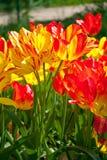 Tulipani rossi gialli in primavera Immagini Stock