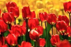 Tulipani rossi in giardino botanico Immagine Stock
