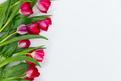 Tulipani rossi isolati su fondo bianco Immagini Stock