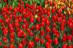 Tulipani rossi Keukenhoff Lisse Holland Netherlands immagine stock libera da diritti