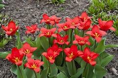 Tulipani rossi luminosi Fotografie Stock Libere da Diritti