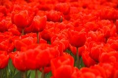 Tulipani rossi meravigliosi Fotografia Stock