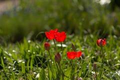 Tulipani rossi nel campo Immagini Stock