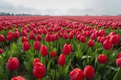 Tulipani rossi nel campo vicino su dei fiori 9 fotografia stock libera da diritti