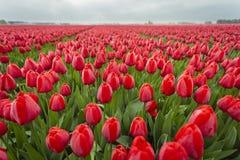 Tulipani rossi nel campo vicino su dei fiori 11 fotografia stock libera da diritti