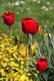 Tulipani rossi nel giardino fotografie stock libere da diritti