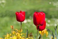 Tulipani rossi nel giardino immagini stock libere da diritti