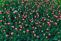 Tulipani rossi nel giardino pubblico di Boston, Boston, U.S.A. fotografia stock libera da diritti
