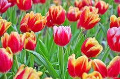 Tulipani rossi nel parco. Fotografie Stock