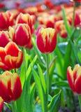 Tulipani rossi nel parco. Fotografia Stock