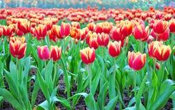 Tulipani rossi nel parco. Immagini Stock Libere da Diritti