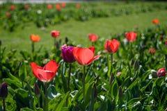 Tulipani rossi nel parco fotografia stock libera da diritti