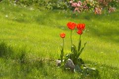 Tulipani rossi nell'erba, paesaggio Immagine Stock