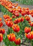 Tulipani rossi nella primavera 2 Immagine Stock Libera da Diritti