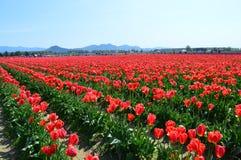 Tulipani rossi nella valle di Skagit Immagini Stock