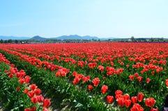 Tulipani rossi nella valle di Skagit Fotografia Stock