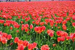 Tulipani rossi nella valle di Skagit Fotografia Stock Libera da Diritti