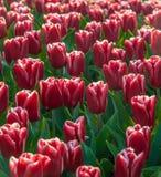 Tulipani rossi in piena fioritura Fotografia Stock