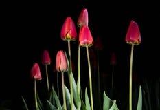 Tulipani rossi - pitture leggere Fotografia Stock Libera da Diritti
