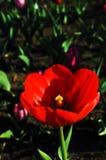 Tulipani rossi strutturati Fotografia Stock Libera da Diritti