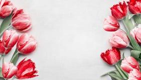 Tulipani rossi su fondo grigio chiaro, vista superiore Pagina Fiori festivi della molla Comporre floreale Festa e saluto di prima fotografie stock