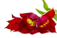 Tulipani rossi su priorità bassa bianca Fotografia Stock Libera da Diritti